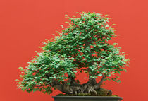 Zelkova bonsai by Antonio Scarpi