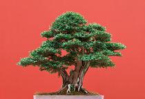 Yew bonsai by Antonio Scarpi