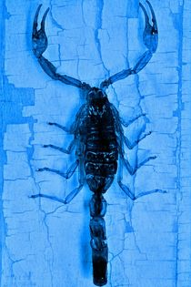 Blauer Skorpion - Scorpion on blue von leddermann