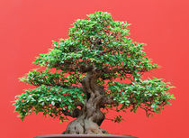Ficus bonsai by Antonio Scarpi