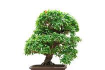 Punica Granatum bonsai tree by Antonio Scarpi