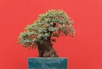 Zelkova bonsai von Antonio Scarpi