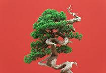 Juniper bonsai von Antonio Scarpi