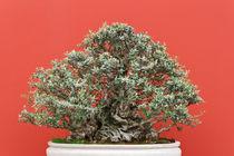 old bonsai tree von Antonio Scarpi