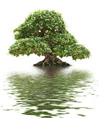 Ficus bonsai von Antonio Scarpi