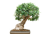 bonsai tree von Antonio Scarpi