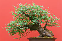 bonsai Zelkova tree by Antonio Scarpi