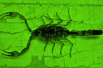 Green scorpion von leddermann