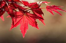 Japanese maple von Engeline Tan