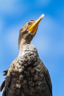 Portrait of Anhinga by Pier Giorgio  Mariani