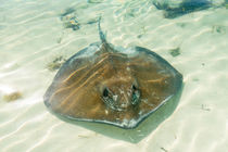 Stingray fish by Pier Giorgio  Mariani