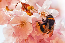 Cherry Blossom With Bee von Wolfgang Reif