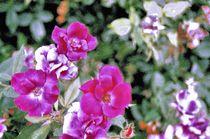 Summer Bloom von Dan Richards