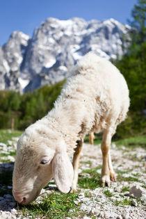 Schaf im Nationalpark Triglav by Lukas Kirchgasser