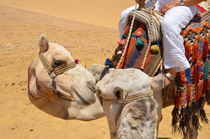 Loving Camels by Malcolm Snook