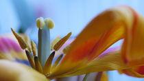 Eine Tulpe am Verblühen... von Thomas Haas