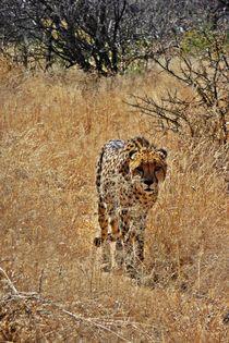 Stalking cheetah by Barbara Imgrund