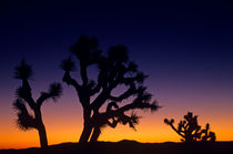 Joshua Tree Silhouetted von Jim Corwin