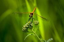 Kanadische Libelle  von Marianne Drews