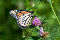 Der Monarchfalter von Marianne Drews