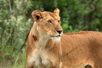 Proud Lioness von Aidan Moran