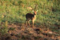 Masai Mara Dikdik Deer von Aidan Moran