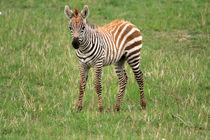 Zebra Foal  by Aidan Moran