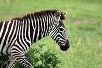 Zebra von Aidan Moran
