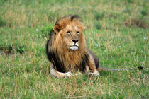 Male Lion On The Masai Mara von Aidan Moran