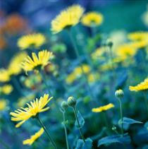Gelbe Blumen im Garten. by li-lu