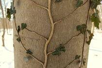 Ranke an einem Baum by justaphotosite