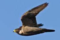 Peregrine Falcon attacking/ Wanderfalke im Attack by Michael Nau