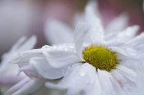 Daisy sweetness by Engeline Tan
