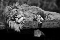 Sleeping Lion von leddermann