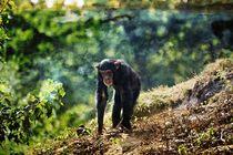 Schimpanse-001c