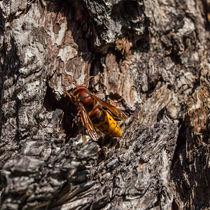 Hornet von safaribears
