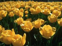 Yellow Tulips by Evgeny Govorov