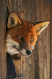 Fuchs 0408A by Mario Fichtner