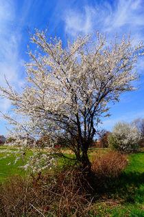 Erblühter Baum am Wegrand von Sabine Radtke