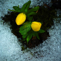 Zwei Gelbe Winterlinge im Schnee by Sabine Radtke