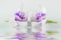 Orchidee-2-lila