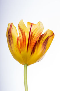 Frühlings Tulpe  by Cornelia Dettmer