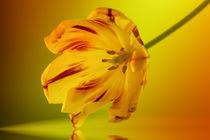 Yellow flower by Cornelia Dettmer