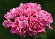 Pelargonium Swanland Pink by Martina Cross