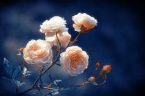 Roses by cinema4design