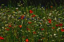 Blumenwiese von Marianne Drews