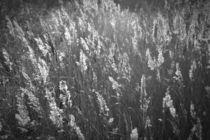 Gräser by Ute Bauduin