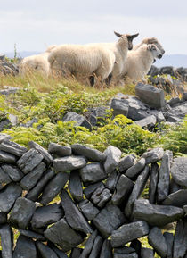 Sheep at rest by Dave  Byrne