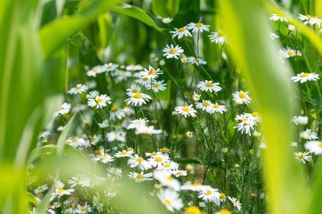 Flowers-1855h