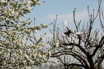The Dove of the Peace von ANNA CAMORALI